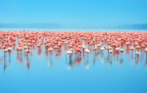 Công viên quốc gia hồ Nakuru nằm ở miền Trung Kenya độc đáo với những chú chim màu hồng
